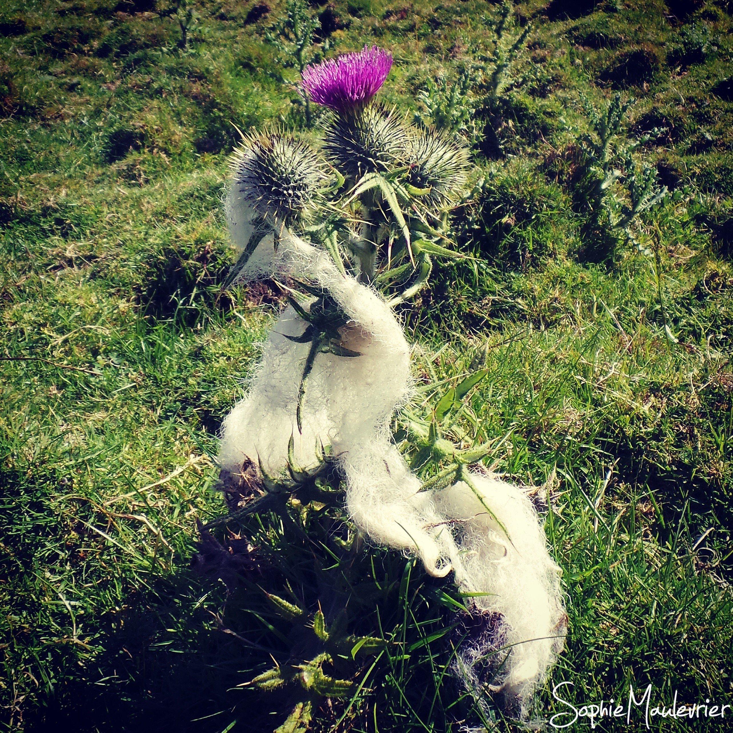 Chardon écossais et laine des moutons