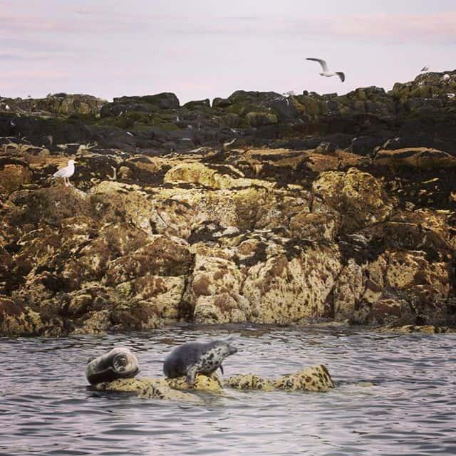 La colonie de phoques d'Oban en Ecosse