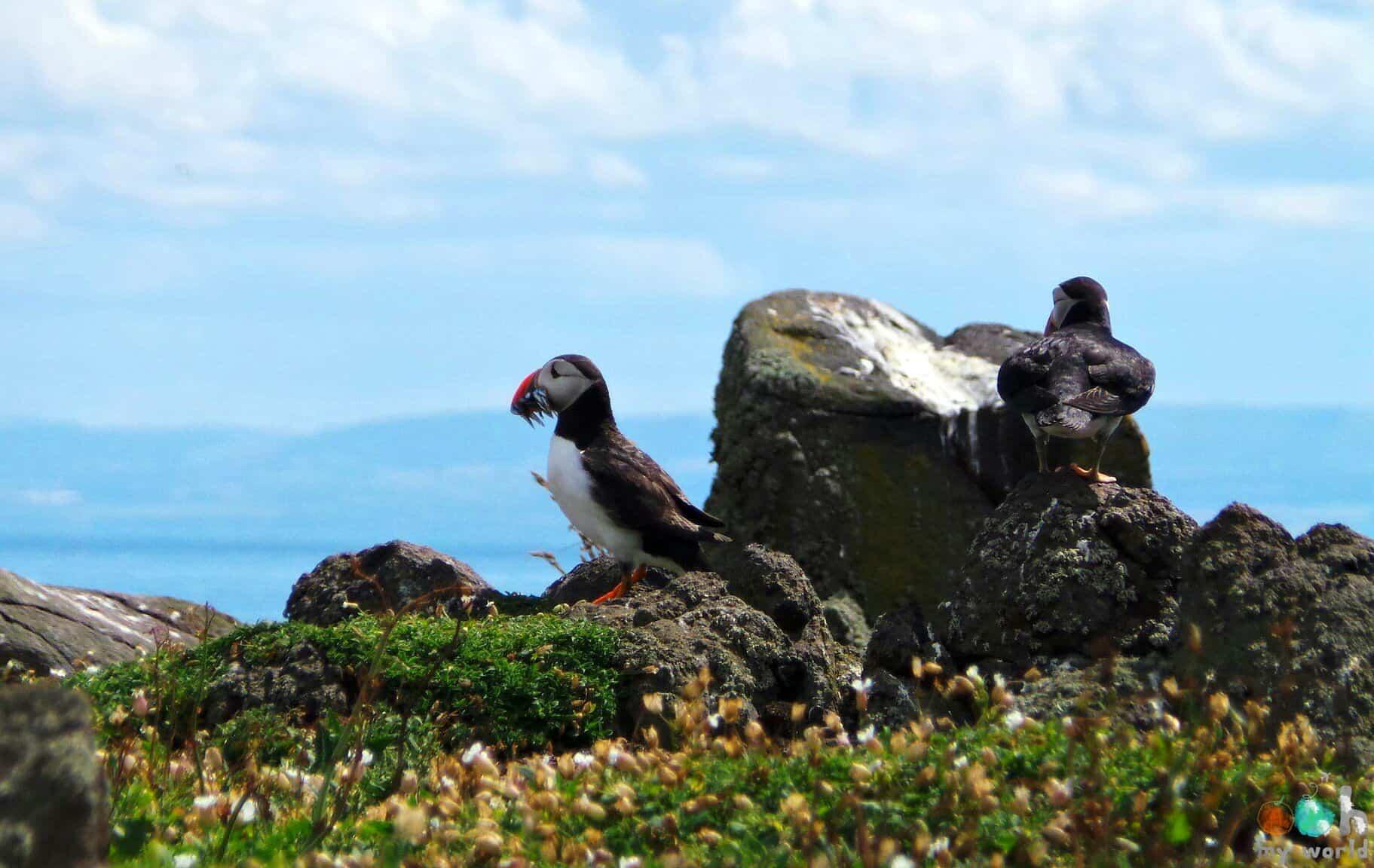 Macareux de ile de May