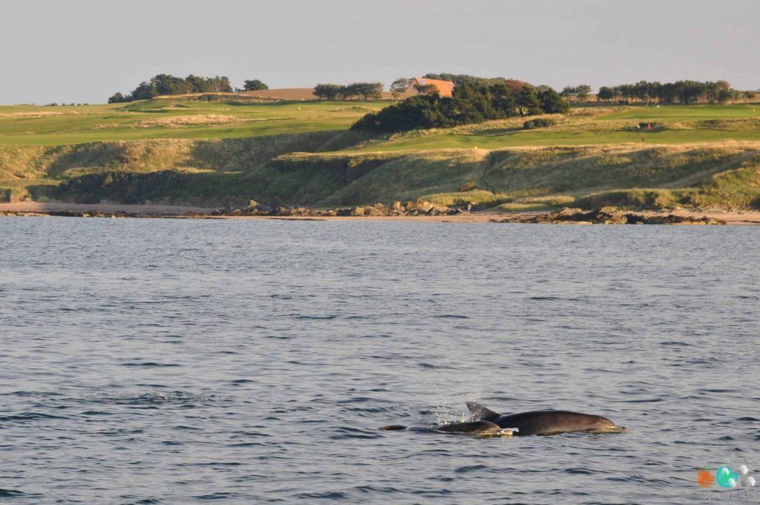 Dauphins rencontrés pendant notre balade en mer autour de Bass Rock