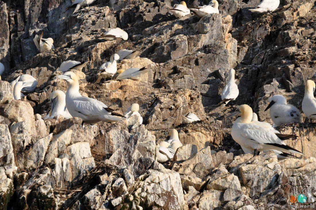 Fous de bassan du rocher de Bass Rock