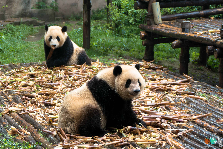Pandas à Chengdu