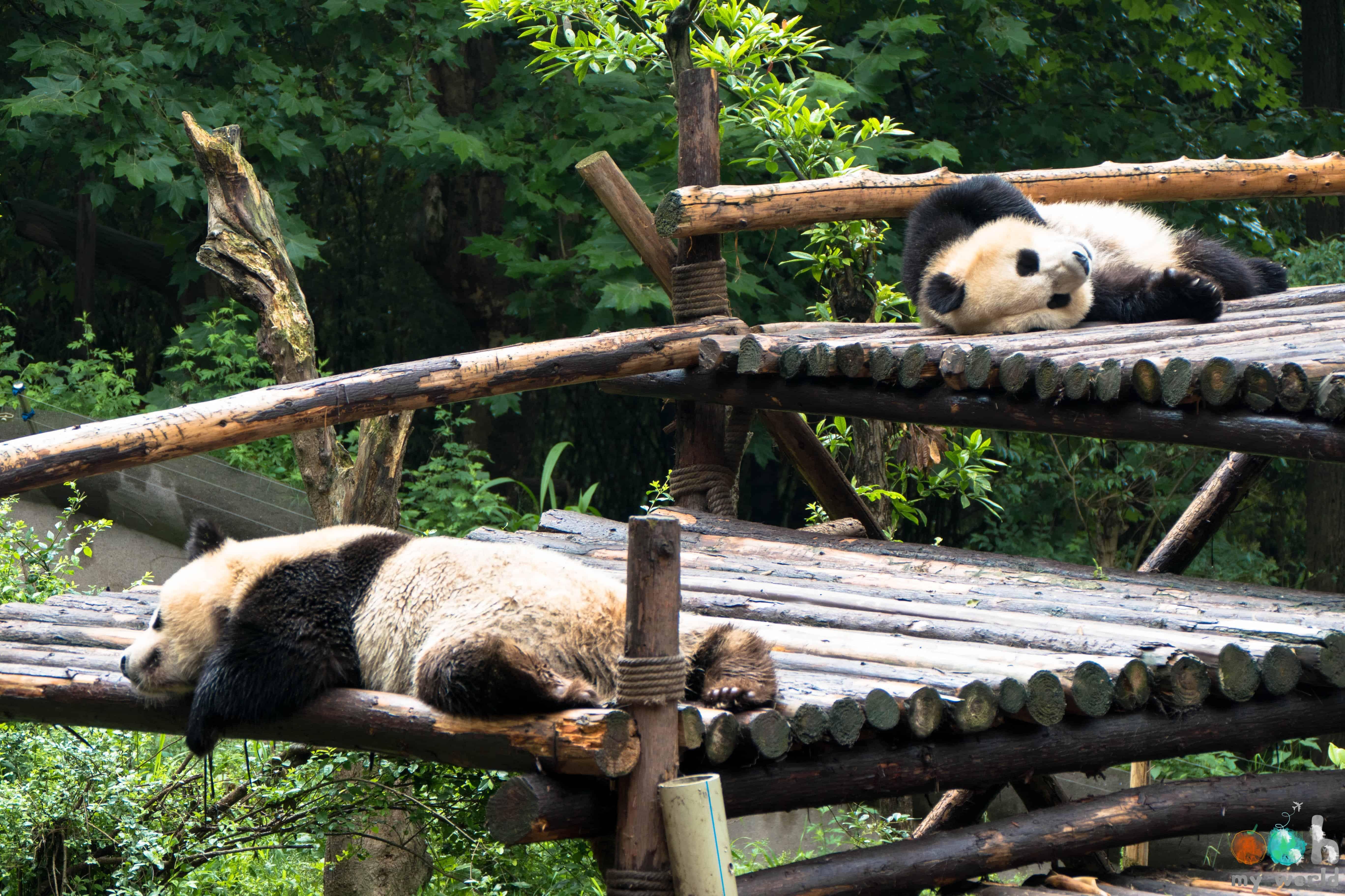 Pandas endormis de Chengdu en Chine