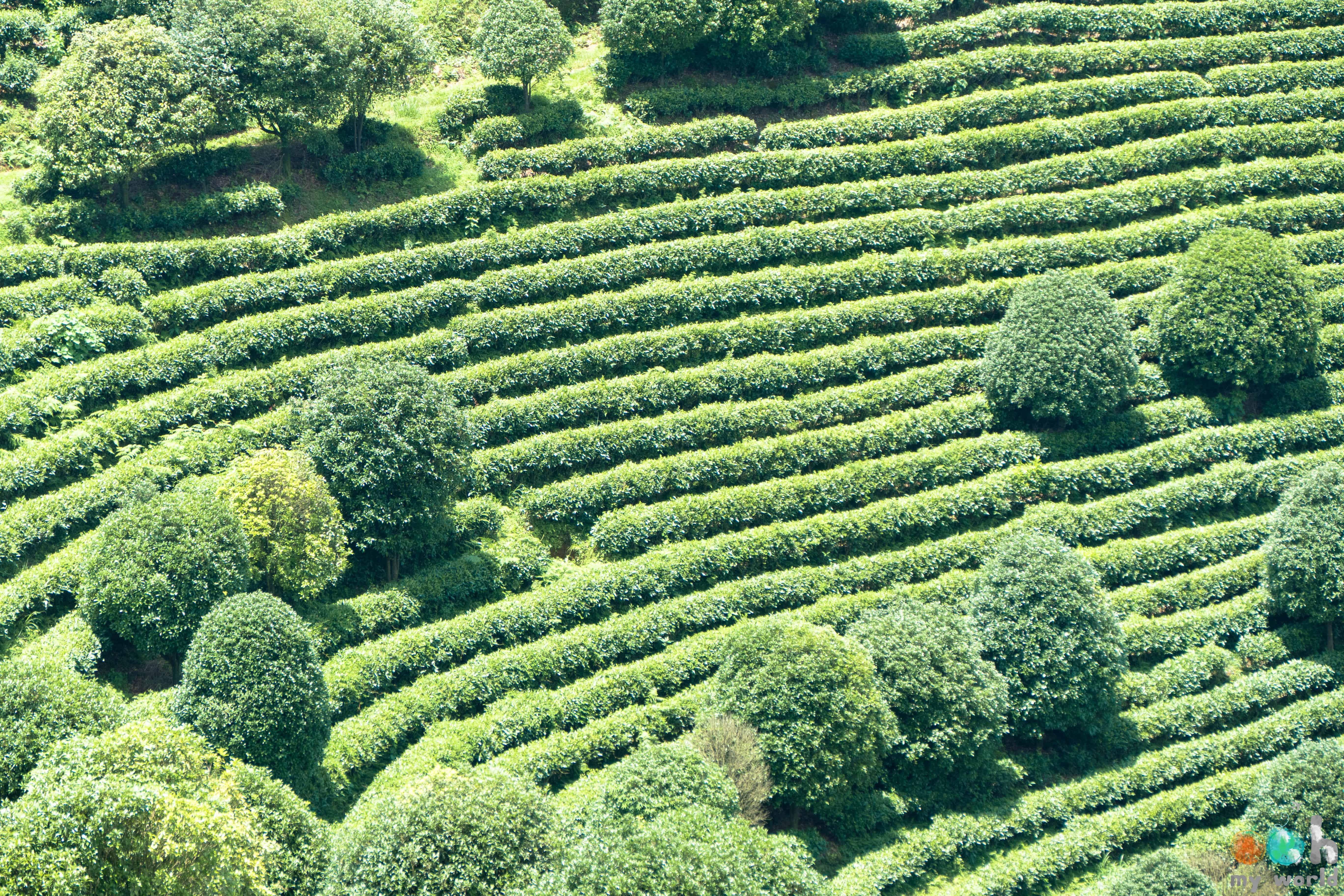 Plantation de thé à Yangshuo