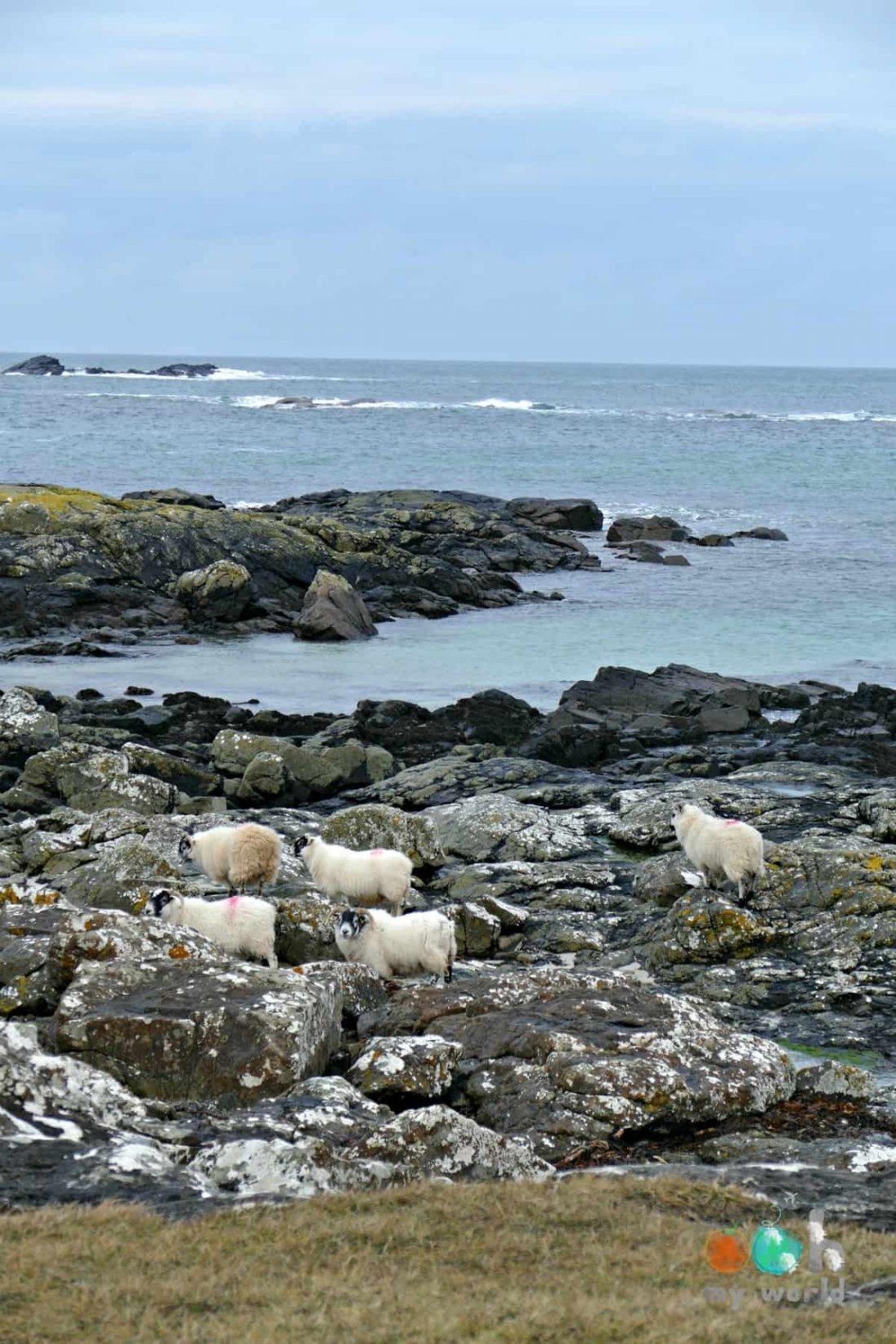 Moutons sur la cote d'Arnamurchan