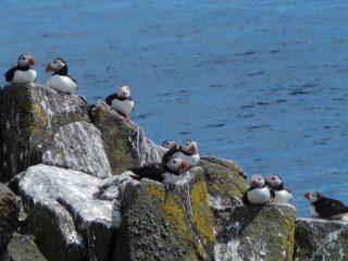 Bienvenue sur l'île de May ! Un de mes plus beaux souvenirs de l'Ecosse (mais aussi un des plus effrayants je vous explique plus loin haha).  Entre avril et début août, une colonie de dizaines de milliers de macareux moines s'installe sur l'île de May pour nicher. Et il est possible de venir passer la journée sur l'île pour les observer.  Cette réserve ornithologique accueille aussi beaucoup d'autres oiseaux marins comme les sternes arctiques qui nichent au sol quasiment au même moment. Ces oiseaux sont très protecteurs et très agressifs. Ayant eu quelques déboires dans le passé avec les oiseaux, j'étais aussi terrifiée que subjuguée par les oiseaux autour de nous.  Les macareux moines sont très petits et tellement drôle. Ils sont un peu maladroits au décollage et atterrissage. C'est très mignon. Une belle excursion en bateau à faire !  #isleofmay #isleofmayboattrips #macareux #macareuxmoine #oiseauxdemer #Ecosse #jaimelecosse #ornithologyphotography #scotlandisnow #scotlandnature #kingdomoffife