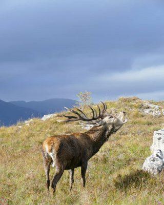 Un autre souvenir mémorable de nos voyages en Écosse : la rencontre des cerfs avec Colin de @reraigforest pendant notre voyage sur la North Coast 500 !  Si l'on peut en voir un peu partout, il n'est pas aussi aisé de pouvoir les approcher ou de les voir dans un environnement si beau !  Colin nous a conduit au coeur de la propriété pour laquelle il travaille pour que nous rencontrions les magnifiques cerfs sauvages qui y vivent. Le résultat en image... ❤️❤️  #scottishstag #écosse #roadtripecosse #northcoast500 #cerf #jaimelecosse #scottishhighlands #scottishlandscape